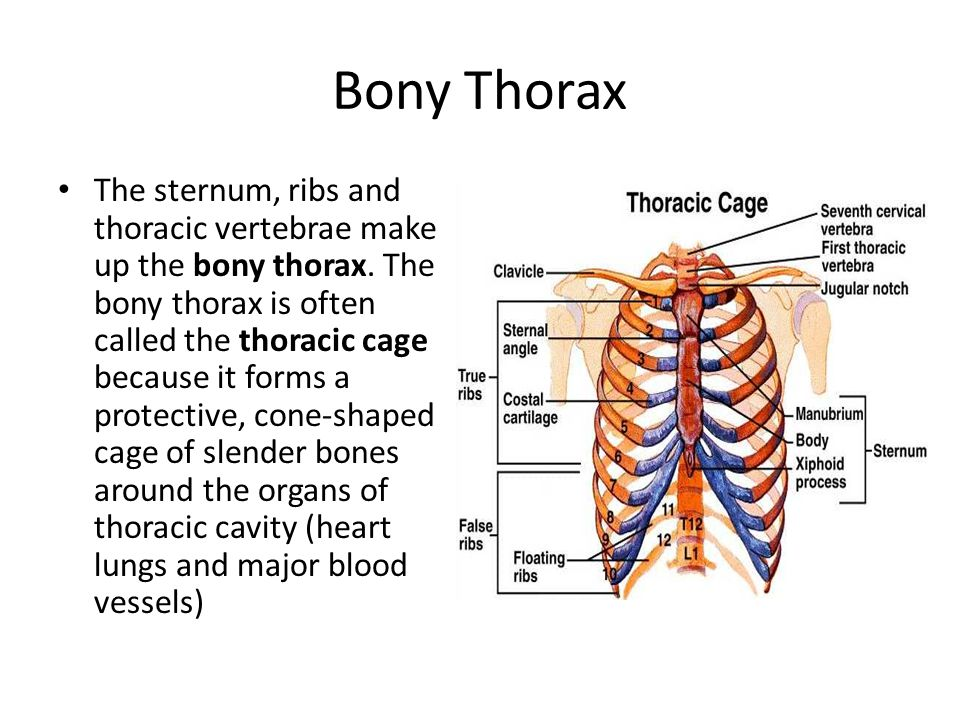 axial skeleton the skeleton is divided into 2 parts the axial  : bony thorax diagram - findchart.co
