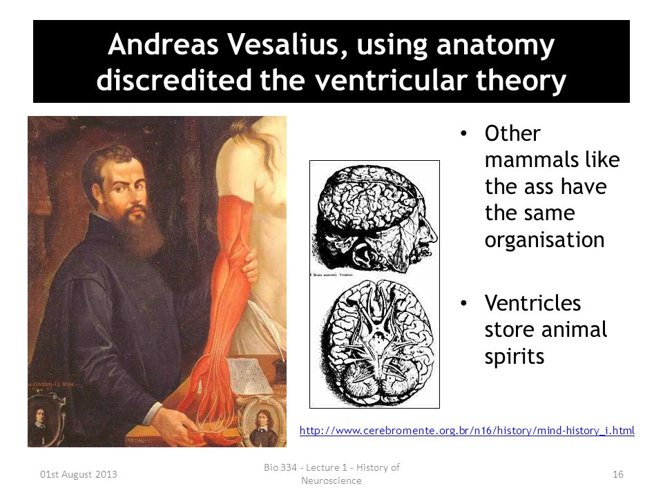 Andreas Vesalius, using anatomy discredited the ventricular theory Other mammals like the ass have the same organisation Ventricles store animal spiri
