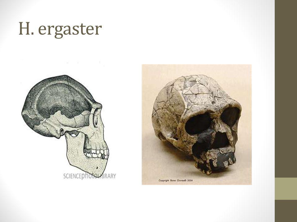 H. ergaster