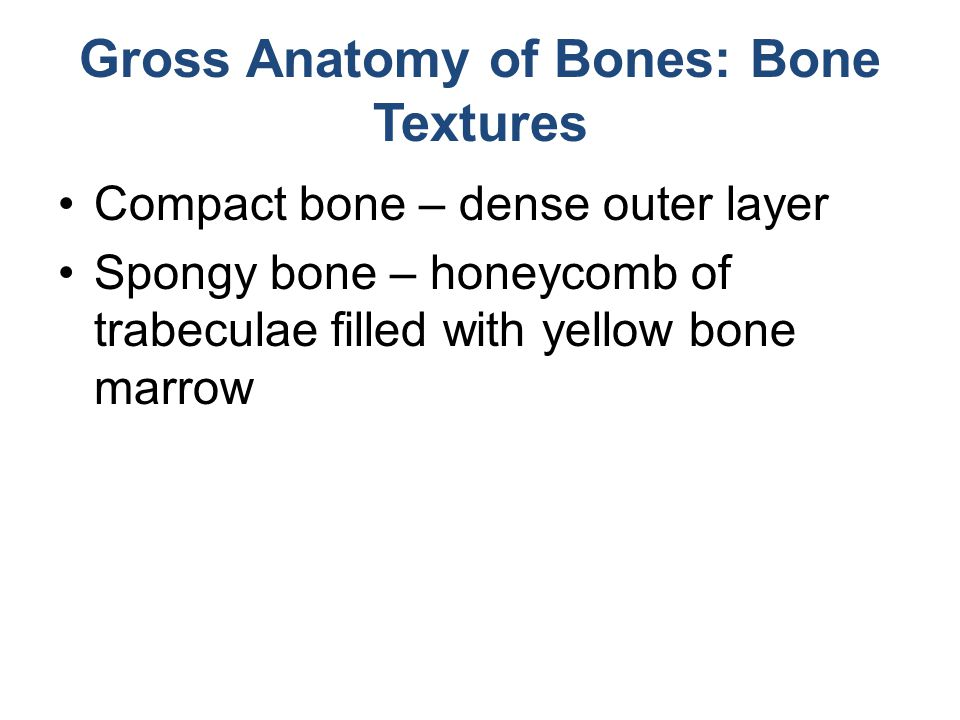 Gross Anatomy of Bones: Bone Textures Compact bone – dense outer layer Spongy bone – honeycomb of trabeculae filled with yellow bone marrow