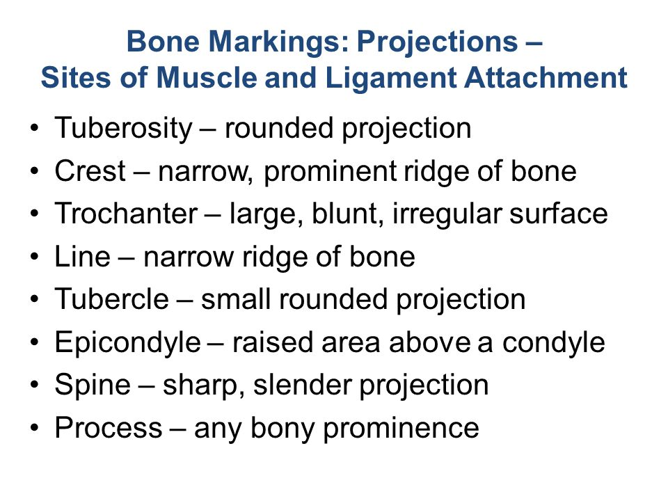 Bone Markings: Projections – Sites of Muscle and Ligament Attachment Tuberosity – rounded projection Crest – narrow, prominent ridge of bone Trochante