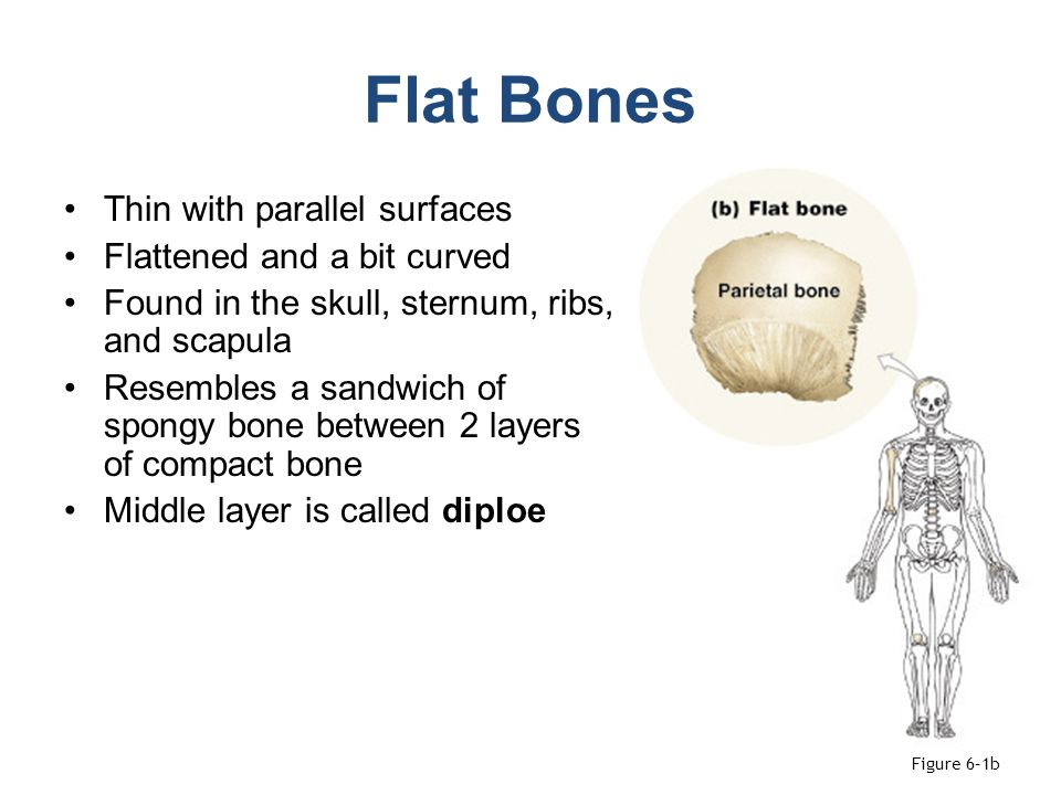 Flat Bones The parietal bone of the skull Figure 6–2b