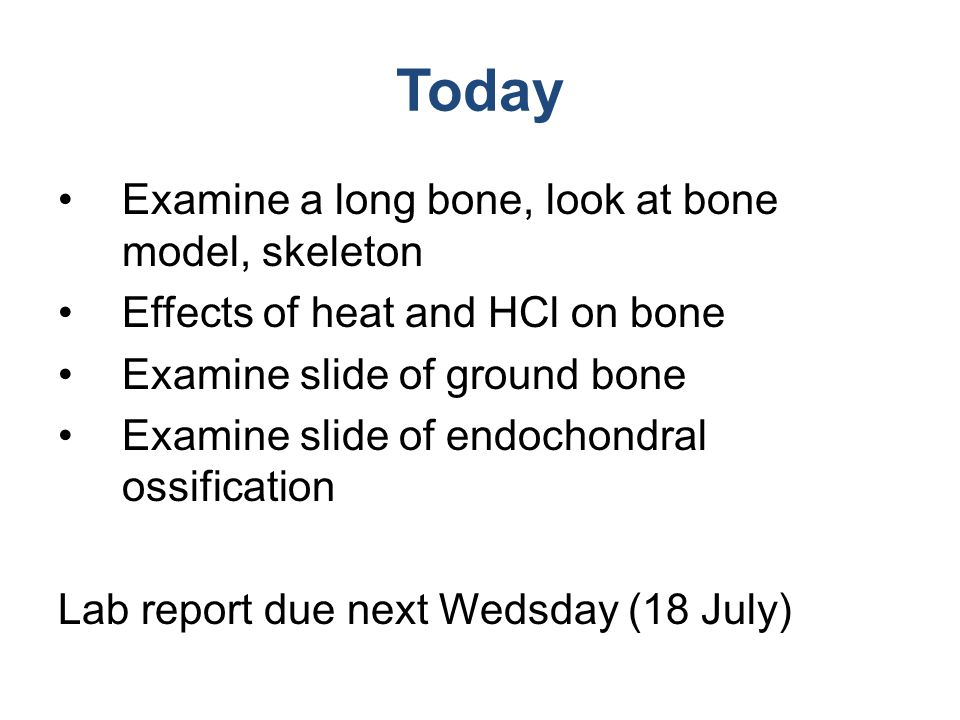 Today Examine a long bone, look at bone model, skeleton Effects of heat and HCl on bone Examine slide of ground bone Examine slide of endochondral oss