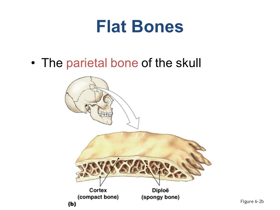 Activities Work with skulls and identify bones and bone parts from the list Palpate skull markings (list on page 132) Skull with sinuses exposed, fetal skull Disarticulated vertebrae, ribs Sternum and ribs (on skeleton) Review Sheet due Weds.