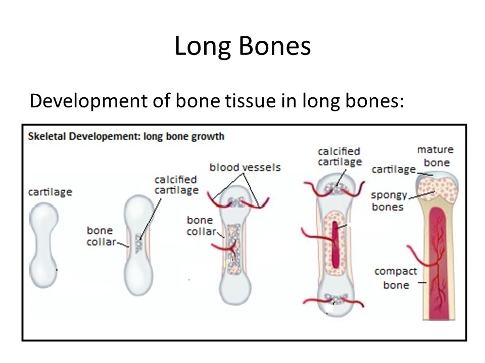 Long Bones Development of bone tissue in long bones: