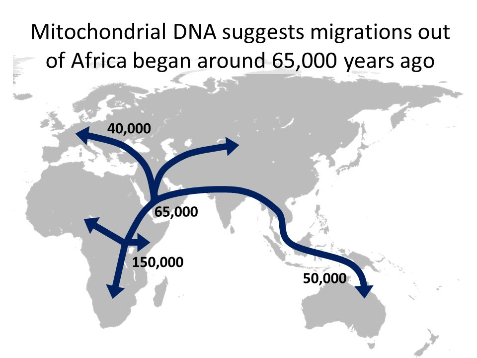 150,000 65,000 40,000 50,000 Mitochondrial DNA suggests migrations out of Africa began around 65,000 years ago