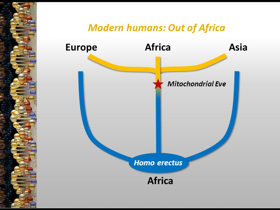 Africa EuropeAsia Homo erectus Modern humans: Out of Africa Mitochondrial Eve