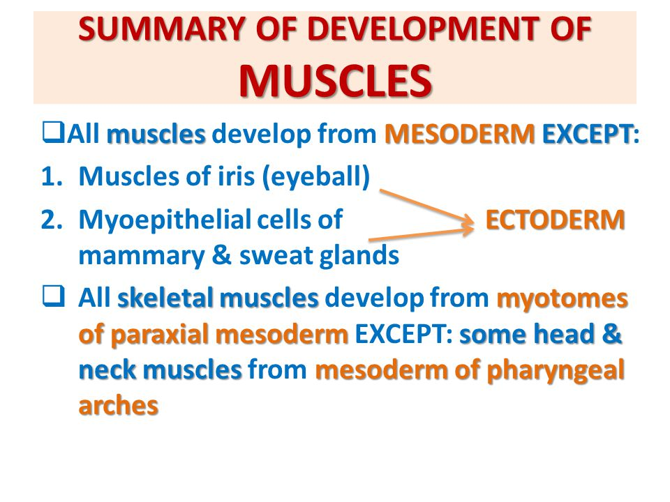 SUMMARY OF DEVELOPMENT OF MUSCLES musclesMESODERMEXCEPT  All muscles develop from MESODERM EXCEPT: 1.Muscles of iris (eyeball) ECTODERM 2.Myoepitheli