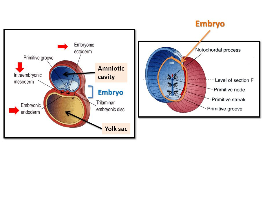 Amniotic cavity Yolk sac Embryo Embryo