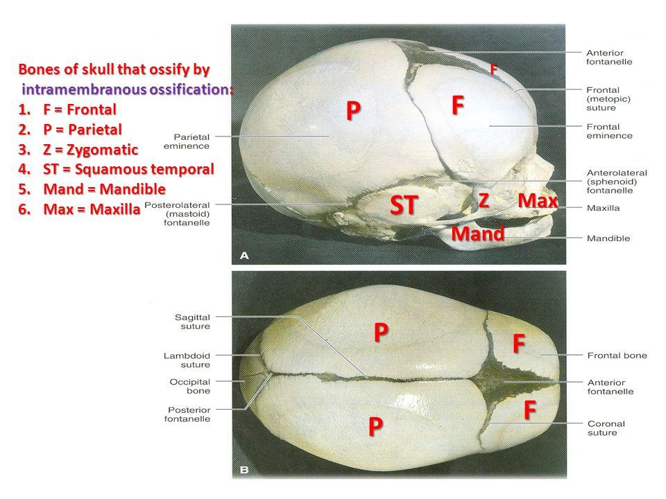 SUMMARY OF DEVELOPMENT OF BONE MESODERM All bones develop from MESODERM.