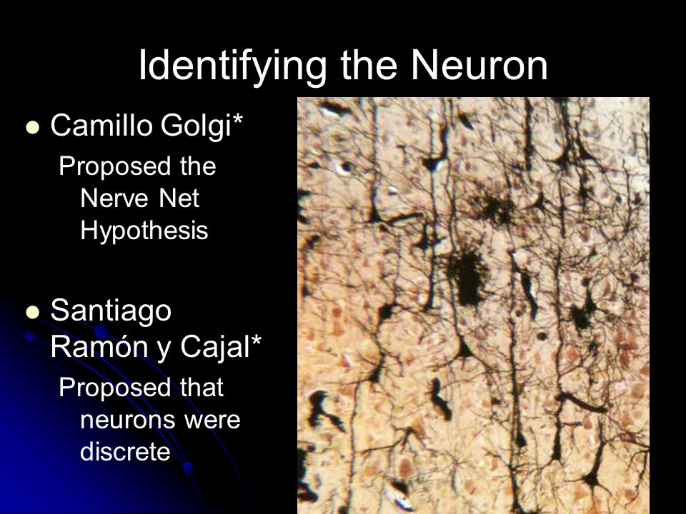 26 Identifying the Neuron Camillo Golgi* Proposed the Nerve Net Hypothesis Santiago Ramón y Cajal* Proposed that neurons were discrete