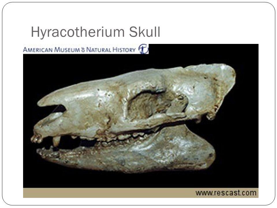 Hyracotherium Skull