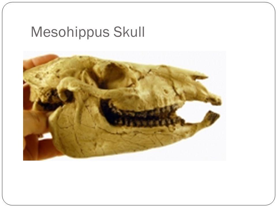Mesohippus Skull
