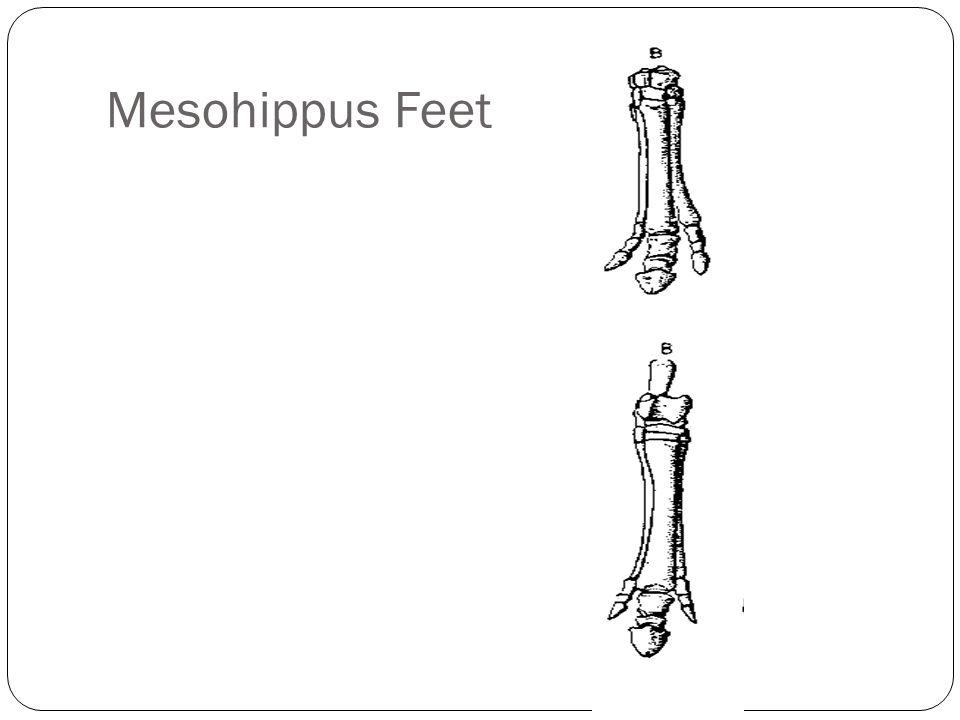 Mesohippus Feet