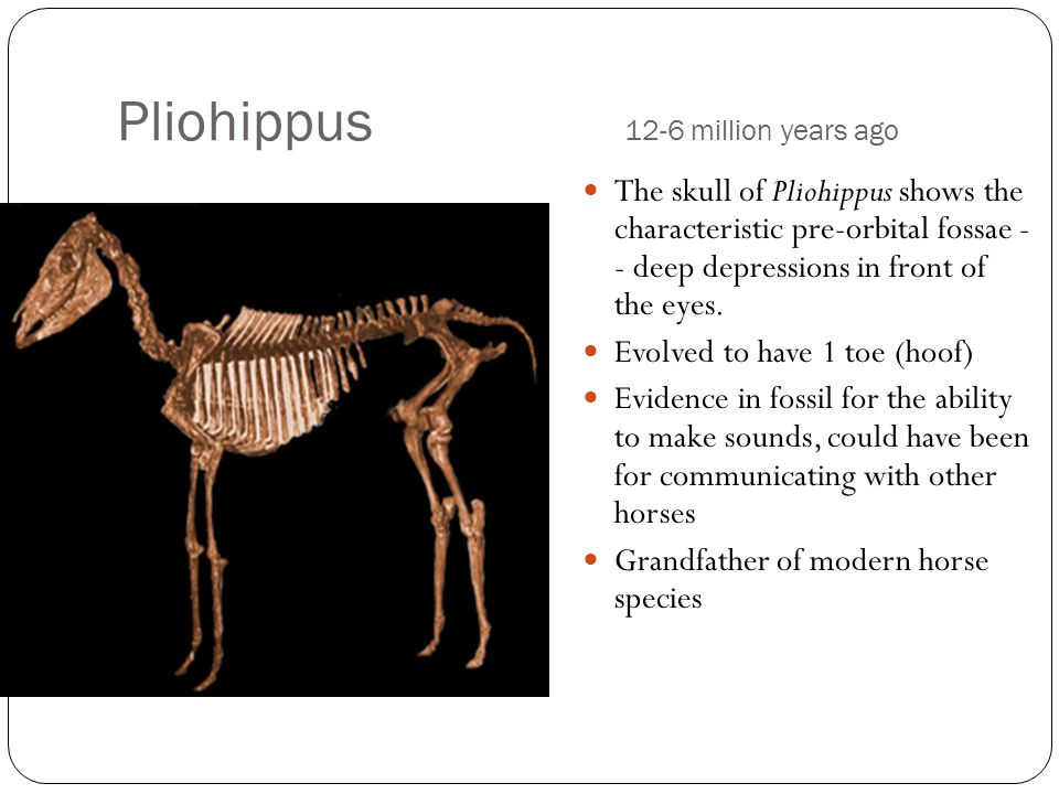 Pliohippus 12-6 million years ago The skull of Pliohippus shows the characteristic pre-orbital fossae - - deep depressions in front of the eyes.