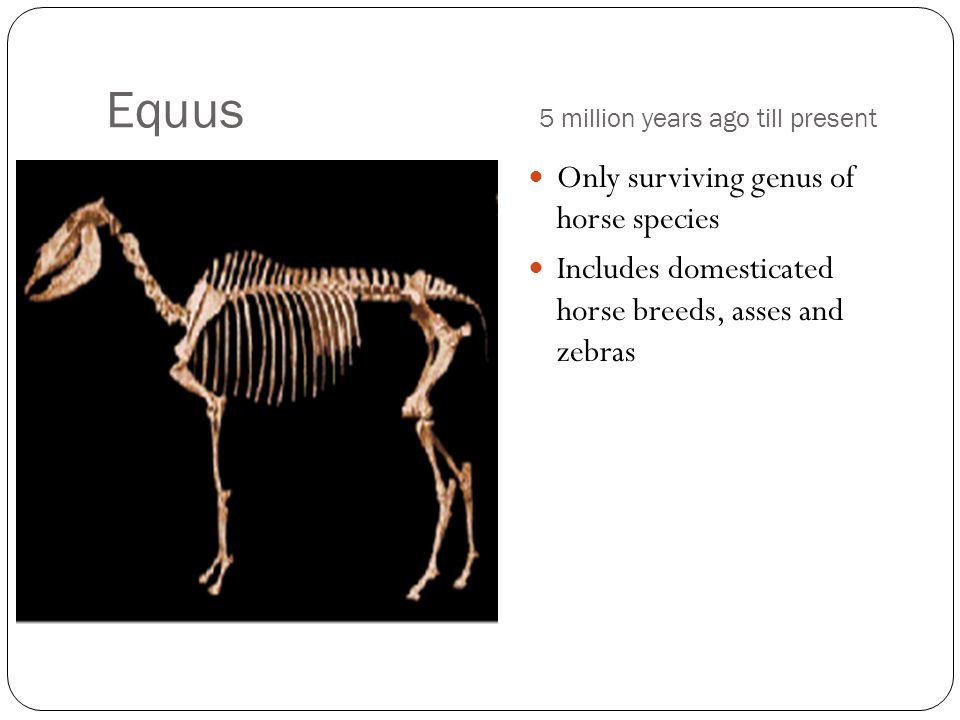 Equus 5 million years ago till present Only surviving genus of horse species Includes domesticated horse breeds, asses and zebras