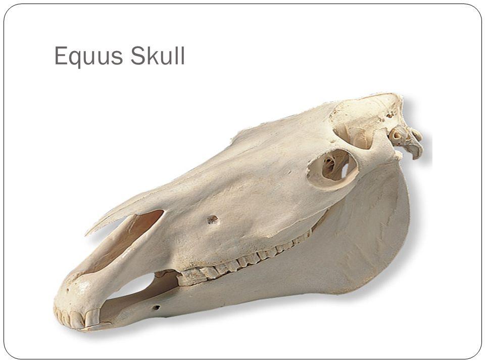 Equus Skull