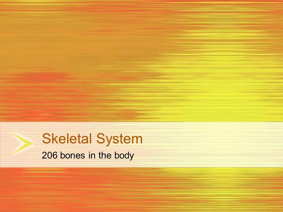 Skeletal System 206 bones in the body