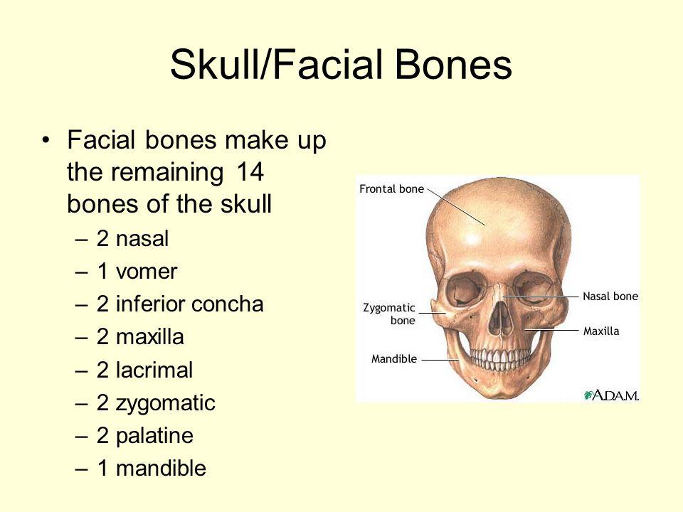 Skull/Facial Bones Facial bones make up the remaining 14 bones of the skull –2 nasal –1 vomer –2 inferior concha –2 maxilla –2 lacrimal –2 zygomatic –