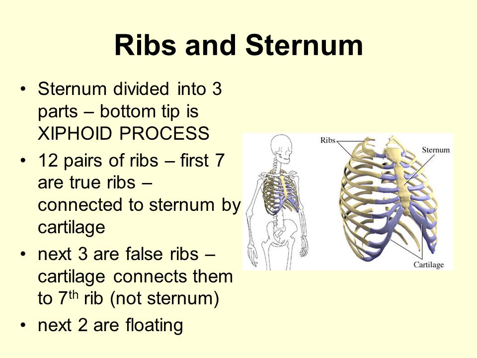 Ribs and Sternum Sternum divided into 3 parts – bottom tip is XIPHOID PROCESS 12 pairs of ribs – first 7 are true ribs – connected to sternum by carti