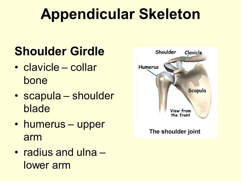 Appendicular Skeleton Shoulder Girdle clavicle – collar bone scapula – shoulder blade humerus – upper arm radius and ulna – lower arm