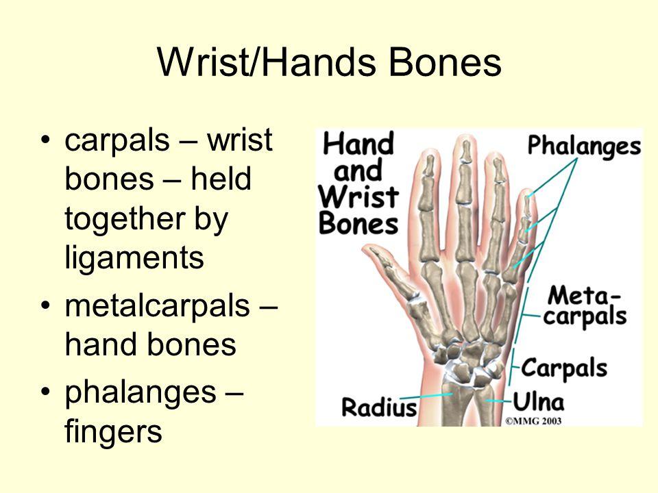 Wrist/Hands Bones carpals – wrist bones – held together by ligaments metalcarpals – hand bones phalanges – fingers
