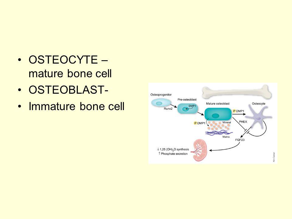 OSTEOCYTE – mature bone cell OSTEOBLAST- Immature bone cell