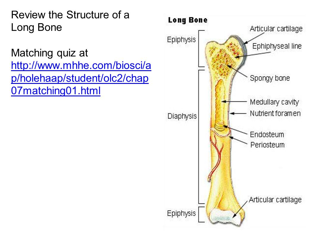 Review the Structure of a Long Bone Matching quiz at http://www.mhhe.com/biosci/a p/holehaap/student/olc2/chap 07matching01.html http://www.mhhe.com/biosci/a p/holehaap/student/olc2/chap 07matching01.html