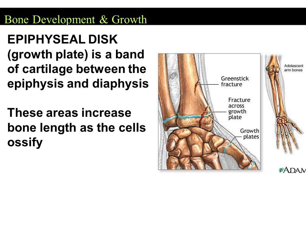 Bone Development & Growth EPIPHYSEAL DISK (growth plate) is a band of cartilage between the epiphysis and diaphysis These areas increase bone length as the cells ossify