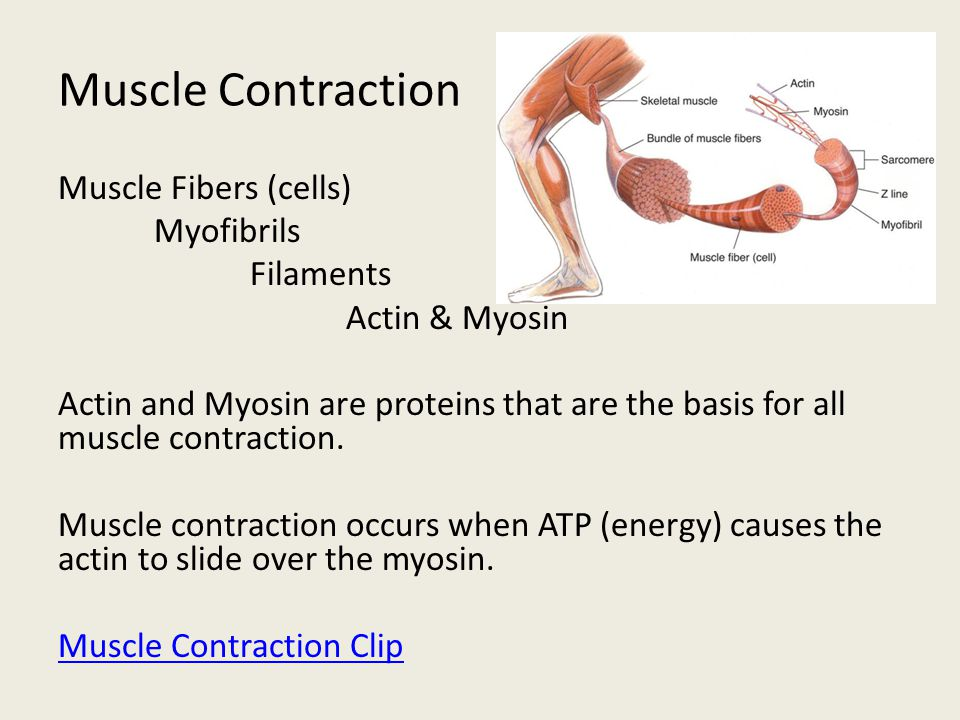 Muscle Contraction Muscle Fibers (cells) Myofibrils Filaments Actin & Myosin Actin and Myosin are proteins that are the basis for all muscle contracti