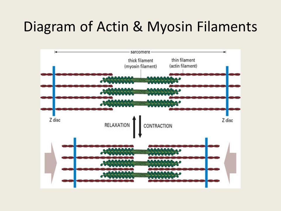 Diagram of Actin & Myosin Filaments
