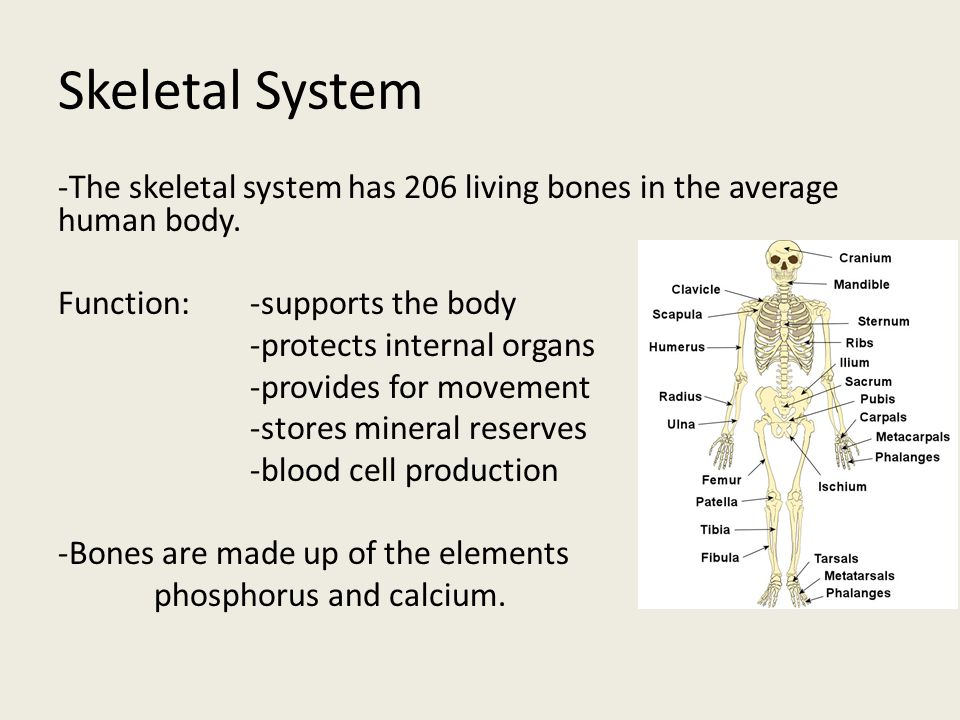 Skeletal System -The skeletal system has 206 living bones in the average human body. Function:-supports the body -protects internal organs -provides f
