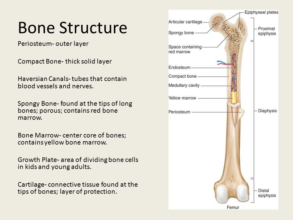 Bone Development -Human embryos are made of cartilage.