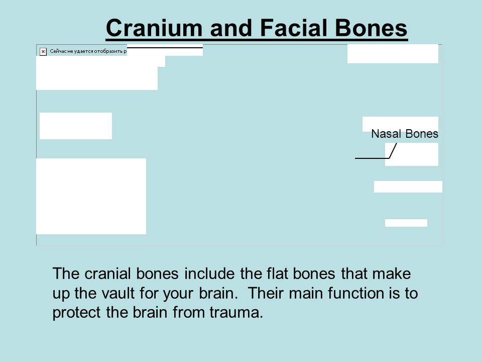 Cranium and Facial Bones The cranial bones include the flat bones that make up the vault for your brain. Their main function is to protect the brain f