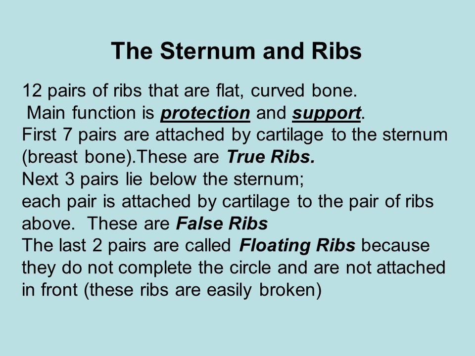 The Sternum and Ribs 12 pairs of ribs that are flat, curved bone. Main function is protection and support. First 7 pairs are attached by cartilage to