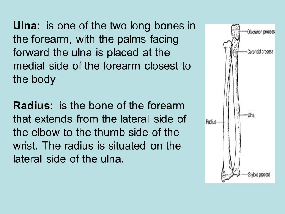 Ulna: is one of the two long bones in the forearm, with the palms facing forward the ulna is placed at the medial side of the forearm closest to the b