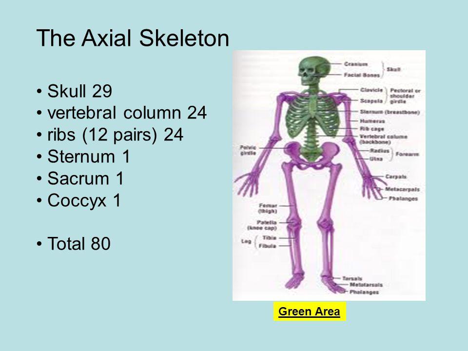 The Axial Skeleton Skull 29 vertebral column 24 ribs (12 pairs) 24 Sternum 1 Sacrum 1 Coccyx 1 Total 80 Green Area