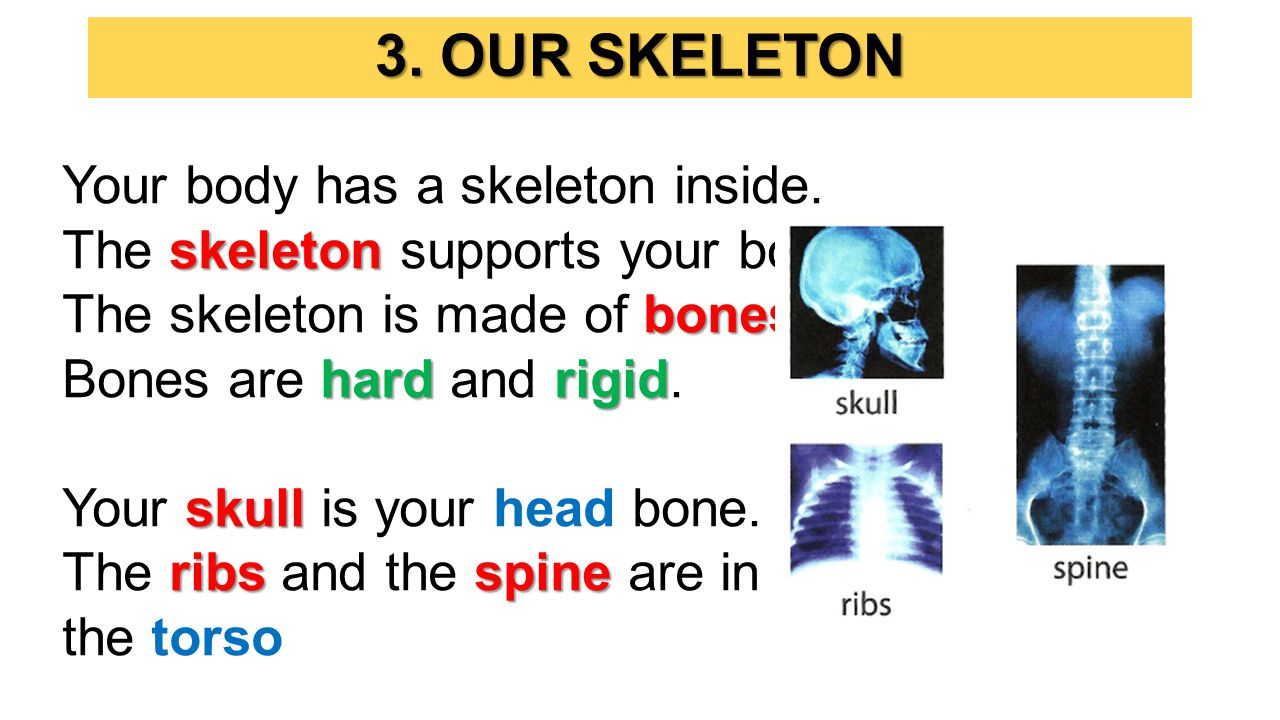 Your body has a skeleton inside.skeleton The skeleton supports your body.