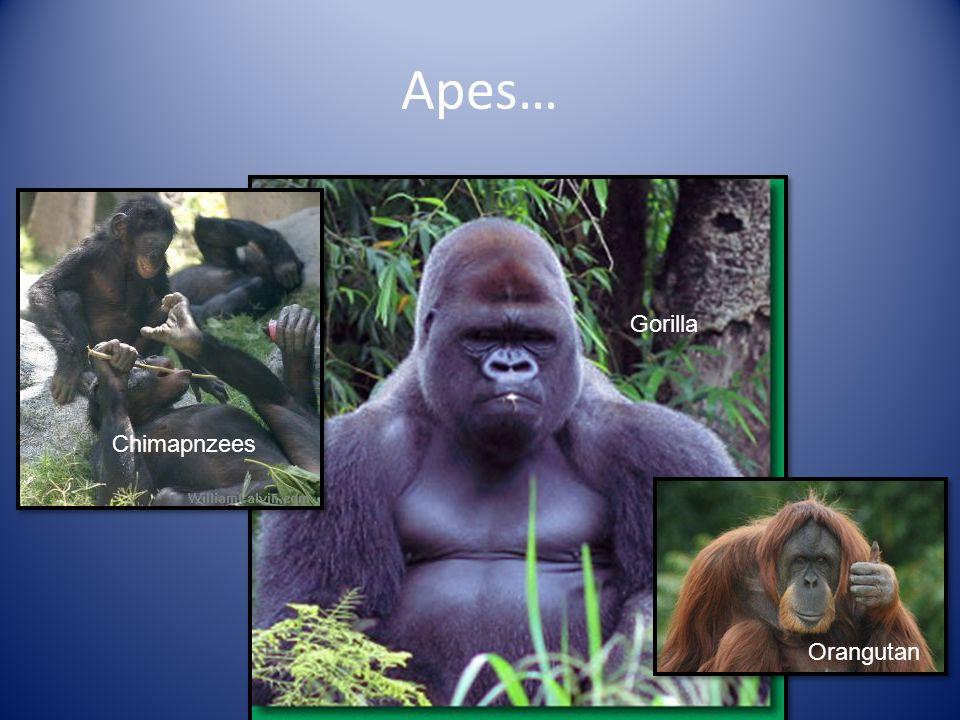 Apes… Orangutan Chimapnzees Gorilla