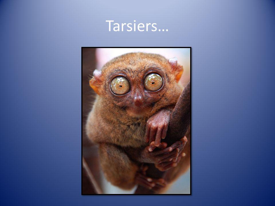 Tarsiers…