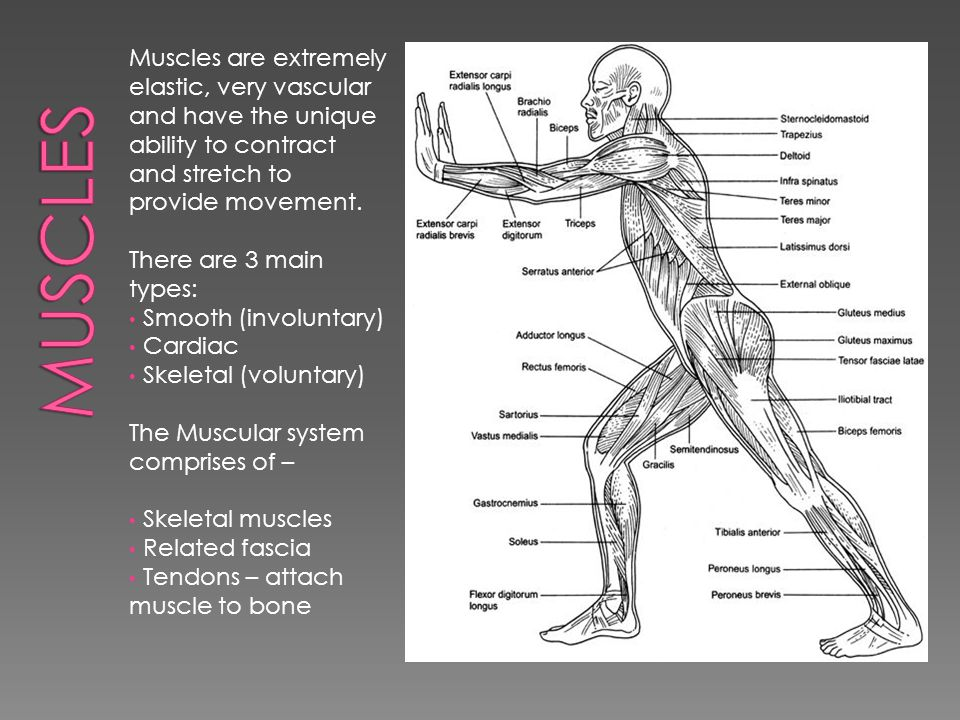 Muscles are extremely elastic, very vascular and have the unique ability to contract and stretch to provide movement. There are 3 main types: Smooth (