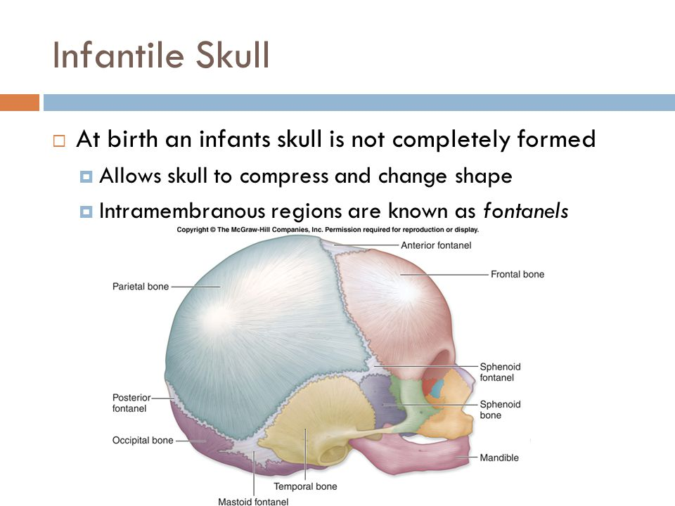 Infantile Skull  At birth an infants skull is not completely formed  Allows skull to compress and change shape  Intramembranous regions are known as fontanels