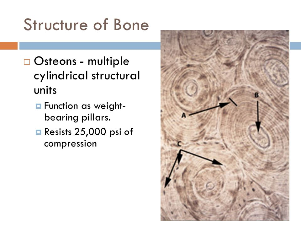 Structure of Bone  Osteons - multiple cylindrical structural units  Function as weight- bearing pillars.