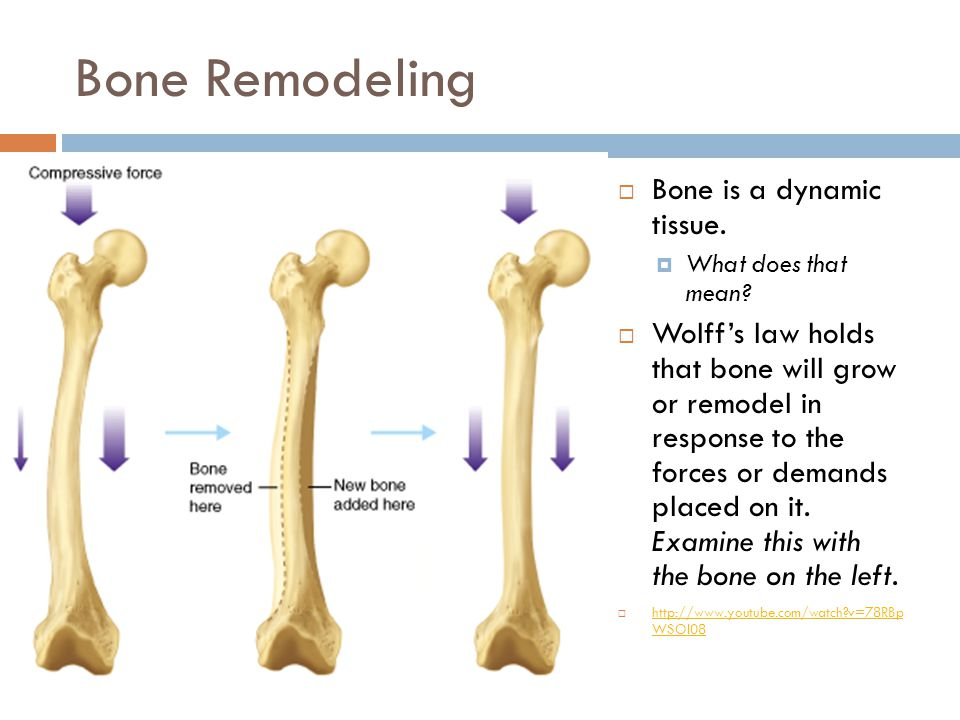 Bone Remodeling  Bone is a dynamic tissue. What does that mean.