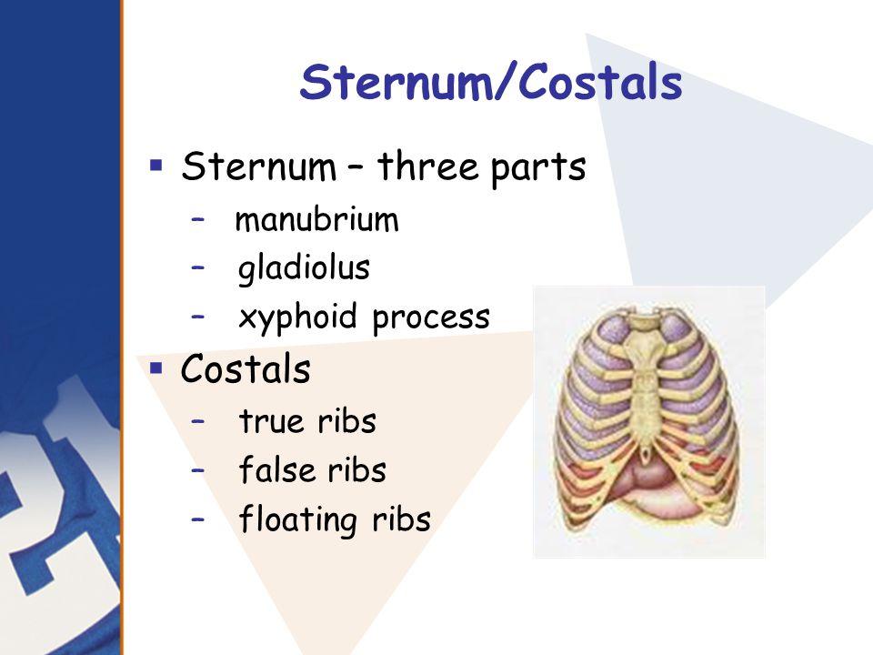 Sternum/Costals  Sternum – three parts –manubrium – gladiolus – xyphoid process  Costals – true ribs – false ribs – floating ribs