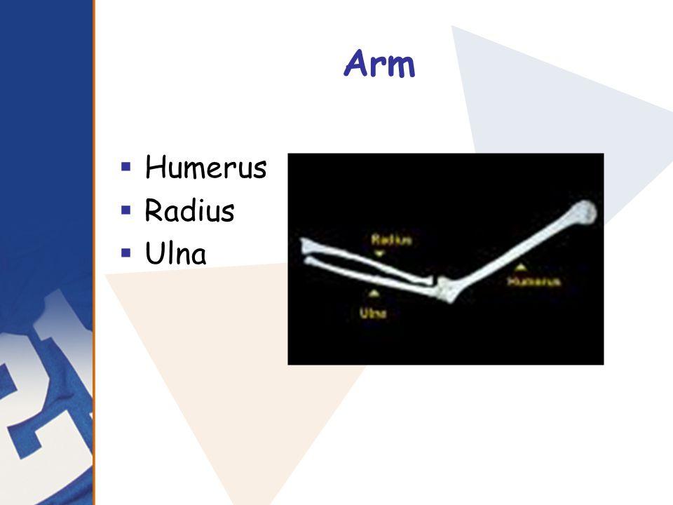 Arm  Humerus  Radius  Ulna