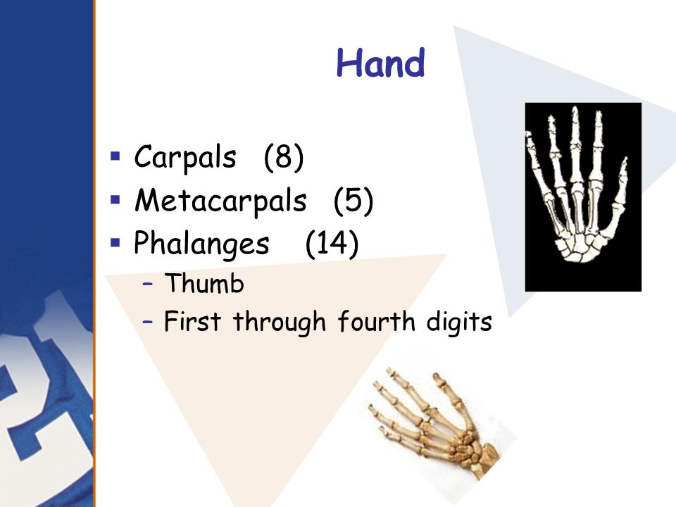 Hand  Carpals (8)  Metacarpals (5)  Phalanges (14) –Thumb –First through fourth digits
