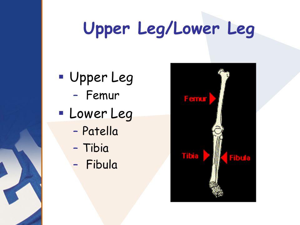 Upper Leg/Lower Leg  Upper Leg – Femur  Lower Leg –Patella –Tibia – Fibula