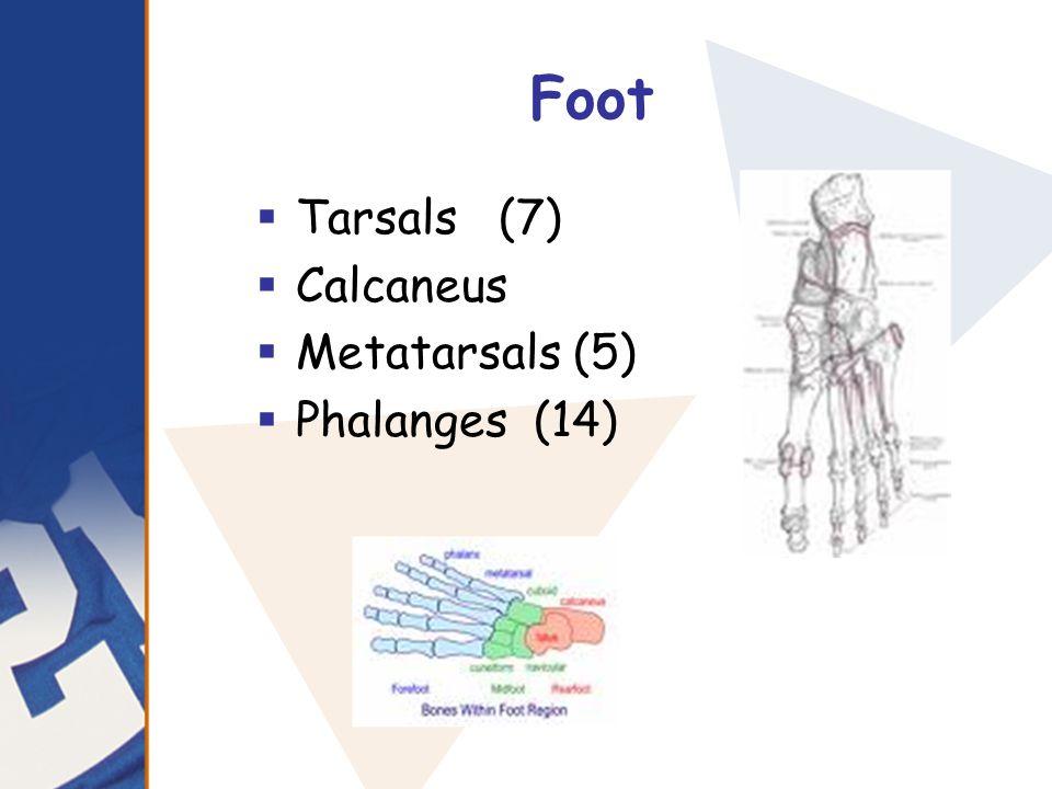 Foot  Tarsals (7)  Calcaneus  Metatarsals (5)  Phalanges (14)