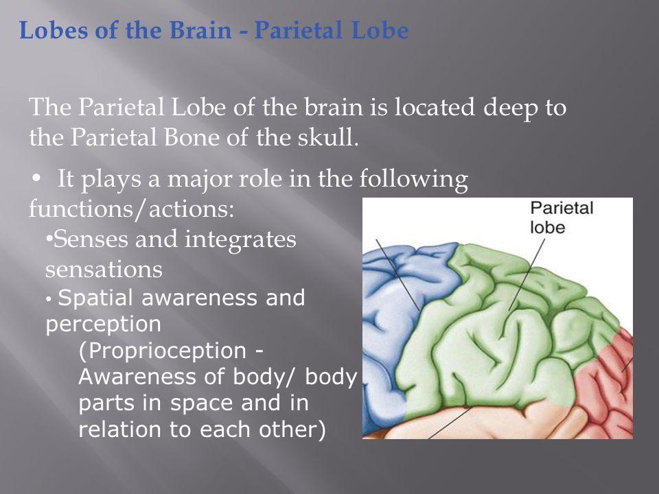 Primary Somatosensory Cortex/ Postcentral Gyrus Somatosensory Association Cortex Primary Gustatory Cortex